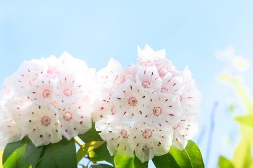 カルミア かるみあ 花 はな 植物 白 白い 木 庭木 花木 低木 空 青空 晴れ 晴天 パステル 壁紙