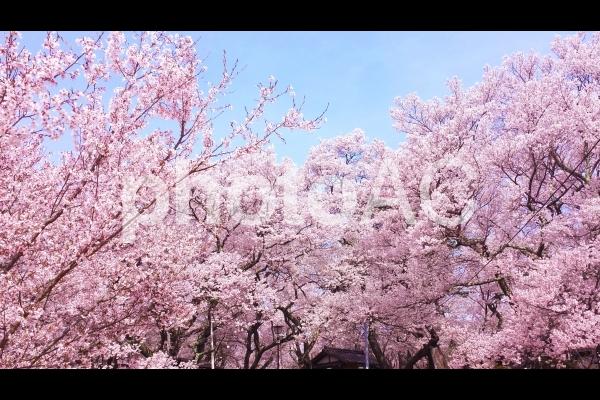 春爛漫 満開の桜がある風景 08の写真