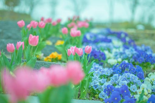自然 植物 チューリップ ちゅーりっぷ 春 ピンク色 桃色 赤 白 青色 黄色 カラフル 沢山 多い 密集 集まる 満開 咲く 開花 開く 階段 段差 ローアングル 木 樹木 空 アップ ピンボケ ぼやける 無人 室外 屋外 風景 景色 可愛い 綺麗 鮮やか 美しい 幻想的