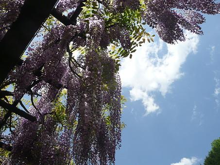 藤 花 植物 紫色 薄紫色 藤色 白 棚 垂れる 枝垂れ 自然 花びら 空 吊るす 枝 葉 雲 観光地 旅行 観光 見物 見頃 兵庫県 白井大町藤公園