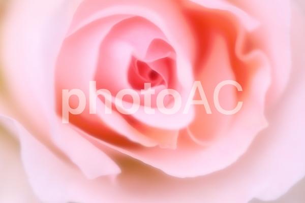 美しいバラ_ソフトイメージの写真