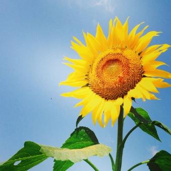 ひまわり 空 ひまわりと空 ひまわり畑 前向き 太陽 すがすがしい 黄色 青 綺麗 自然 風景 元気 蜂 種 夏の花 夏