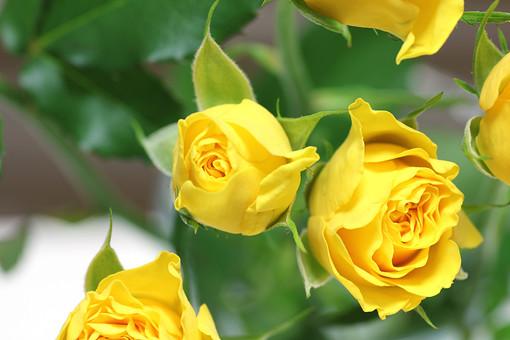 ばら バラ 花 愛 薄れゆく愛 植物 フラワー 種子植物 花弁 花びら 生花 葉 葉っぱ 黄色い花 5月 6月 10月 11月 ローズ 黄色 開花 ぼかし 自然 ネイチャー グリーン