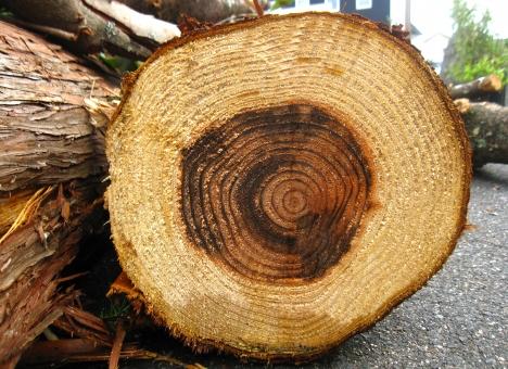 杉の年輪 年輪 木の年輪 木 杉 杉の木 スギの木 スギ すぎ すぎの木 木目 アップ マクロ 素材 自然 天然 き 背景 テクスチャ 使える スギの年輪 すぎの年輪 植物