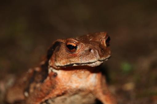 「ac 写真 ヒキガエル」の画像検索結果