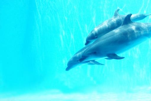 イルカ いるか 動物 水族館 水 爽やか 青 ブルー 清涼 生物 生き物