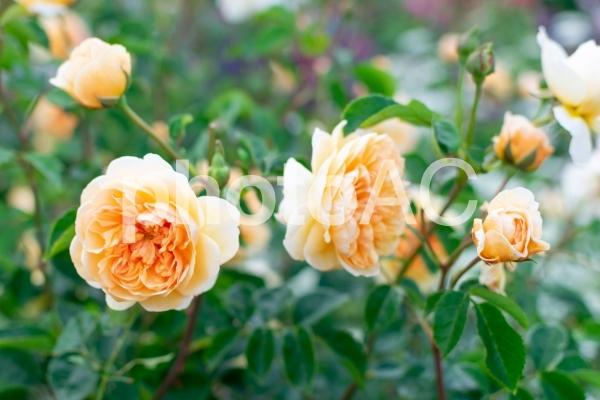咲き誇る黄色いバラの写真