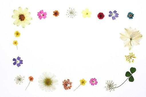 押し花 花 ドライフラワー 小花 植物 白バック 背景 背景素材 美しい かわいい 繊細な  並んだ 黄色 白 オレンジ 紺 複数 華やかな フレーム 枠 囲み