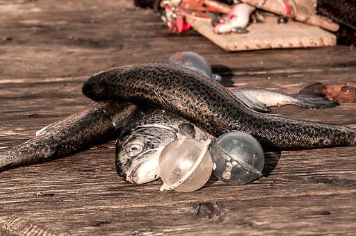 川釣り 河 川 桟橋 木 釣り フィッシング フライフィッシング 魚 釣り人 フィッシャーマン 趣味 ホビー 釣った魚 釣果 獲物 ニジマス 川魚 浮き 釣り道具 擬似餌 ルアー アップ 接写 投げ釣り キャスティング