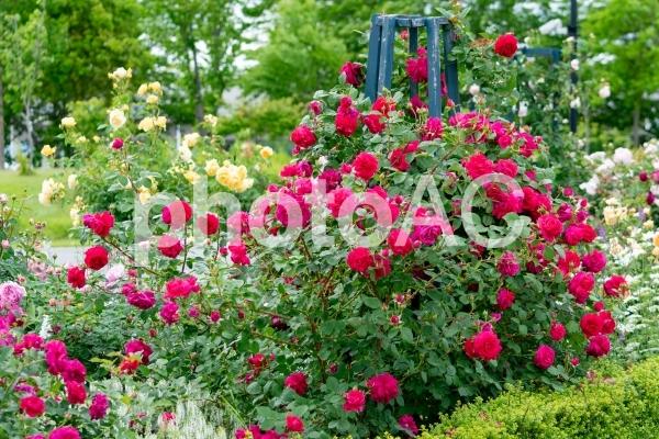 赤やピンクのバラが華やかなローズガーデンの写真