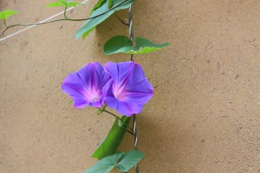 朝 蔓 つる 爽やか 鮮やか 夏の朝 夏休み 観察 朝顔 アサガオ 青 青紫 紫 紫色 ピンク 夏 植物 花 空 太陽