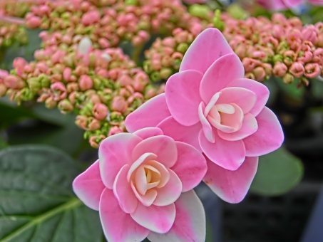 紫陽花 あじさい アジサイ ガクアジサイ ピンク 花びら 八重 アップ 接写 可憐 華やか 鮮やか 植物 梅雨 アート撮影