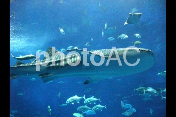 水族館のジンベイザメの写真