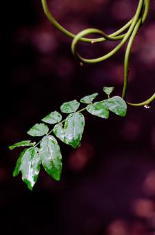 雨 濡れる 濡れた 雫 しずく 水滴 水分 水 露 雨天 クローズアップ 自然 風景 植物 悪天候 屋外 野外 ウェット 自然背景 雨粒 レイン 透明 丸い 粒 葉 草 葉っぱ 葉脈 緑 蔦 絡まる 蔓 伸びる