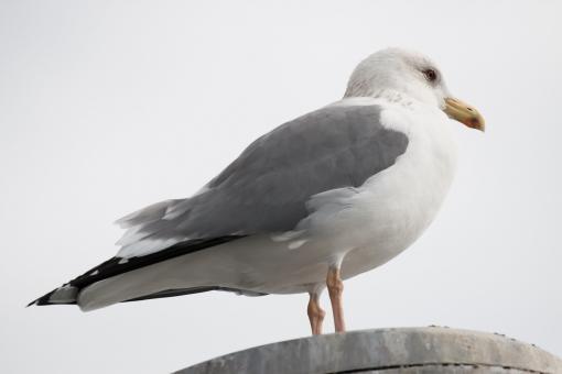 カモメ 水鳥 鳥 鴎 鷗 仁王立ち