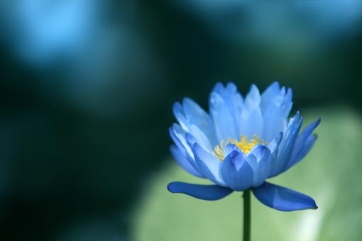 自然 植物 花 すいれん スイレン 水連 睡蓮 初夏 夏 真夏 夏の花 季節感 暑中見舞い ポストカード 待ち受け画像 コピースペース バックスペース 背景 背景素材 テクスチャー 野外アウトドア 水辺の花 池に咲く花 沼に咲く花 湖に咲く花 水上の花 みずみずしい花 青い花 光溢れる 光を浴びて 光透過光 デザイン素材 グラフィック素材 お盆の頃 夏休みイメージ