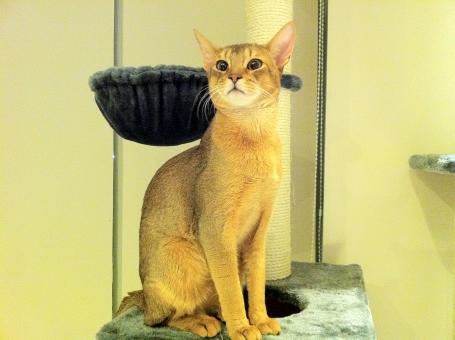 猫 ねこ ニャンコ 足長 アビシニアン 茶色い猫 キャットタワー かわいい ネコ ふわふわ 遊ぶ ポージング 大きい耳 大きい目 長い足 ペット 飼い猫 室内猫
