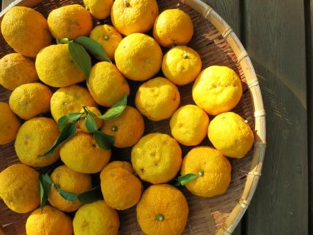 ユズ ゆず 柑橘 酢 酸味 秋 香 果樹 実 黄色 木 収穫 ざる 太陽