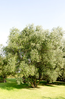 オリーブの木 オリーブ 橄欖 おりーぶ モクセイ科 常緑高木 果実 オリーブオイル ピクルス 種子 樹木 樹 木 自然 植物  被子植物 葉 葉っぱ 緑 青空 晴天 気候 果樹 大木 種