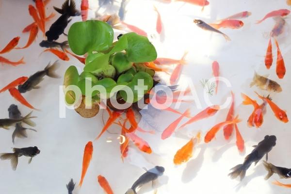 金魚すくい 1の写真