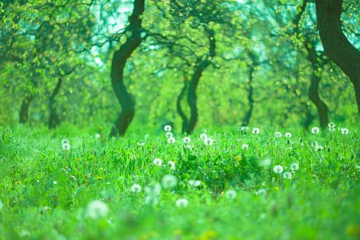自然 植物 木 樹木 幹 枝 葉 葉っぱ 緑 草原 原っぱ 草 雑草 野草 野生 タンポポ たんぽぽ 蒲公英 綿毛 丸い 球体 加工 無人 風景 景色 屋外 室外 成長 育つ 伸びる 群生 密集 集まる 多い 沢山  幻想的