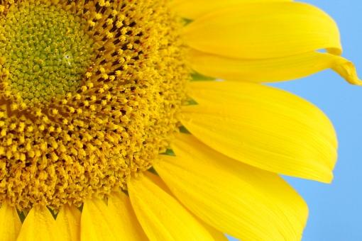 季節 夏 花 植物 大輪 ひまわり ヒマワリ 向日葵 花びら 種 空 青空 ひまわり油