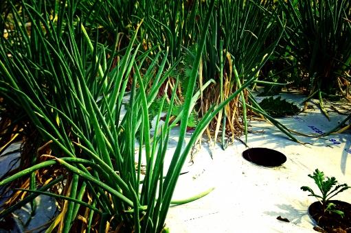 ネギ畑 ねぎ畑 葱畑 ねぎ 葱 ネギ 野菜 Vegetable 自然 nature マルチ 農業 agriculture 農地 農耕地 耕作地 耕地 農産物 農作物 風景 景色 植物