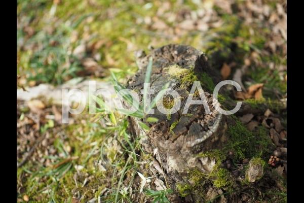 苔むす切り株の写真