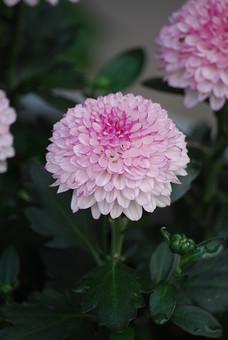 自然 風景 環境 植物 花 草花 観葉 手入れ 栽培 世話 水やり 植える 育てる ベランダ 庭 林 公園 花壇 癒し 咲く 開花 成長 土 観察 アップ たくさん きれい 美しい デコラ 菊 ポンポン