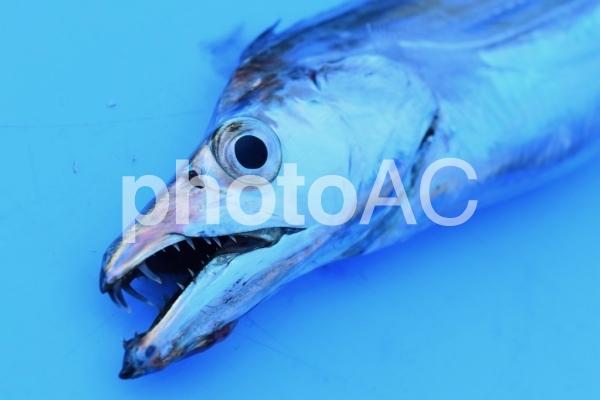 【魚・釣り】太刀魚の写真