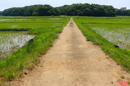 田舎 カントリー 道 ロード 土 泥 癒し おだやか 穏やか あぜ道 一本道 歩く 行く 田んぼ 田植え 稲 緑 グリーン 茶色 風 どこまでも 草 努力 自然 植物 環境 空 青空 快晴 広大 広い ゆとり ゆっくり