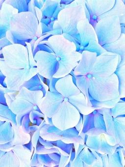 花 はな フラワー 春 スプリング 梅雨 雨 あめ 蛙 カエル かえる むらさき 紫 パープル 水色 みずいろ 晴れ 晴天 青空 青い 太陽 ひかり 光 キラキラ きらきら 美しい ビューティフル きれい キレイ 綺麗 癒し 田舎 さんぽ 散歩 サイクリング 自転車 チャリ さわやか 爽やか 風 カラフル 色彩 ブルー 淡い 紫陽花 あじさい