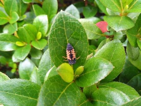 テントウムシノ幼虫