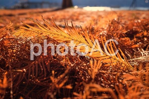 光に輝くメタセコイアの落ち葉の写真