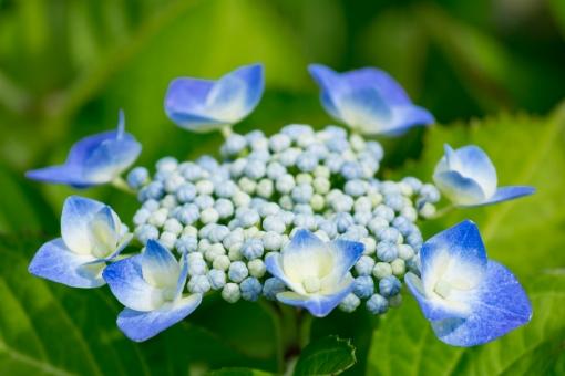 あじさい アジサイ 紫陽花 がくあじさい ガクアジサイ 青 水色 あお みずいろ ブルー 花 植物 梅雨時 梅雨 初夏