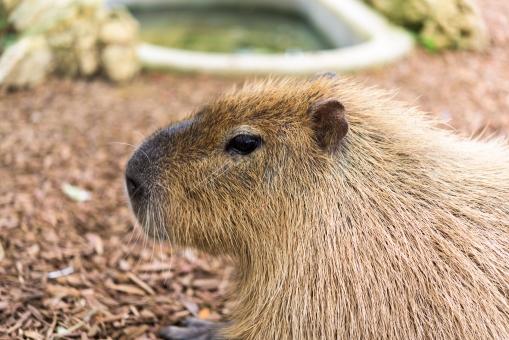 カピバラ 動物園 動物 マスコット 人気 アップ 横顔 穏やか 哺乳類 生き物 ひげ