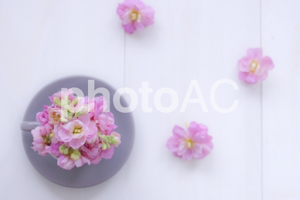 ストックの花の写真