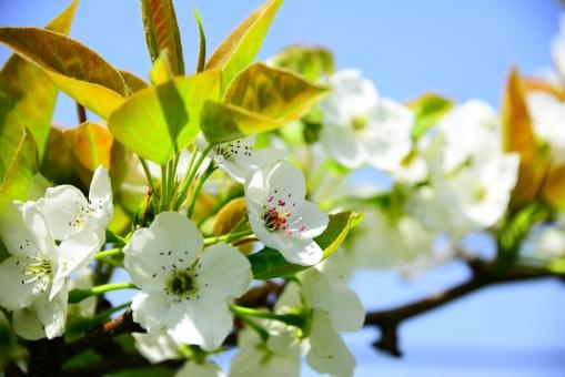 梨 なし ナシ 梨の花 自然 見上げる 植物 青空 空 白い花 梨の木 枝 小花 花吹雪 葉 四季 季節 やさしい 安らぎ 美しい 穏やかな 花びら 満開 野外 花 輝き 光 晴れやか 果物の花 フル-ツの花