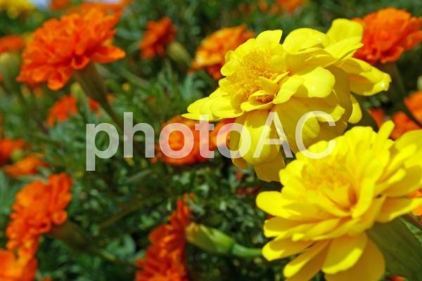 オレンジと黄色の小花_02の写真