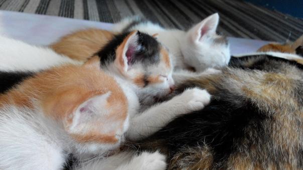 育乳 育児 子猫 ペット 新しい 生命 か弱い 小さい 授乳 授かる おっぱい 妊娠 妊婦 子育て 母親 ねこあつめ 名付け親 命名 ミルク ファミリー 苦労 心配 希望 将来 大切 保護 甘え 親離れ 反抗期 わんぱく