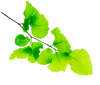 ブナ ぶな 山毛欅 山毛欅林 ブナ林 ぶな林 葉っぱ 木の葉 木葉 はっぱ 木の枝 小枝 自然 風景 木 樹木 森 植物 緑 グリーン エコ エコロジー 環境 eco eco eco 森林 森林浴 森林セラピー 癒し いやし リラックス リラクゼーション やすらぎ 安らぎ 葉 マイナスイオン 健康 美容 ワンポイント 切り抜き きりぬき 背景白 パス マスク クリッピングパス アクセント 飾り 5月 夏 緑 春 初夏 癒し きらめき キラメキ 優しさ やさしい 優しい 揺らぎ