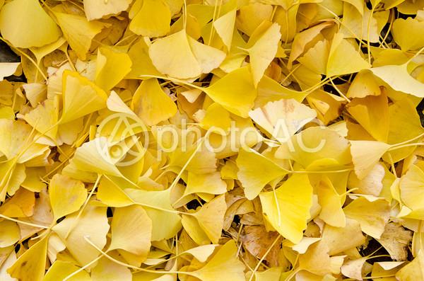 銀杏の葉っぱの写真