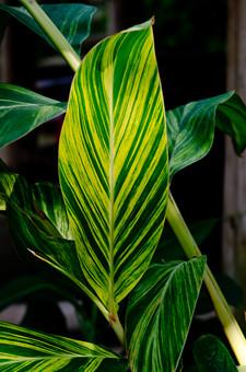 葉 葉っぱ 双葉 葉脈 緑 背景 植物 自然 明るい 屋外 アップ クローズアップ 接写 ガーデニング 園芸 栽培 趣味 鮮明 熱帯 亜熱帯 熱帯植物 観葉植物 鑑賞 茎 森 ライン 線 縞模様