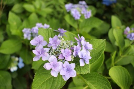 ガクアジサイ 額紫陽花 がくあじさい 紫陽花 アジサイ あじさい 6月の花 7月の花 梅雨の花 植物 梅雨 花