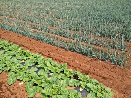 畑 農作物 農業 ファーム ねぎ ネギ ネギ畑 葱 葉物 土 農地 田園風景 風景 景色 晴天 自然 植物 野菜