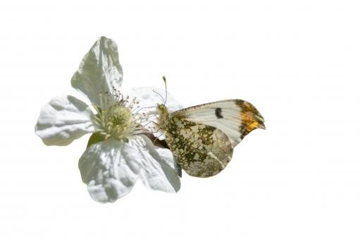 ツマキチョウと野いちごの写真