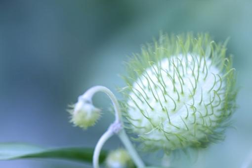 自然 植物 花 種子 つぼみ 新緑 若葉 新芽 初夏 夏 夏の花 ポストカード 待ち受け画像 コピースペース 背景 背景素材 バックスペース 変った形の植物 植物園 デザイン素材 テクスチャー 光を浴びて グラフィック素材