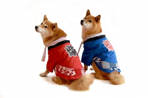 柴犬・祭・はっぴの写真
