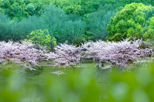 自然・風景 植物 樹木 花 春の花 桜 緑に囲まれて 新緑 若葉 新芽 春 春イメージ 春景色 花見 宴会 入学式 受験合格 卒業式 待ち受け画面 ポストカード コピースペース 背景 野外アウトドア 森・林・公園 バックスペース 日本の美 エコ・環境