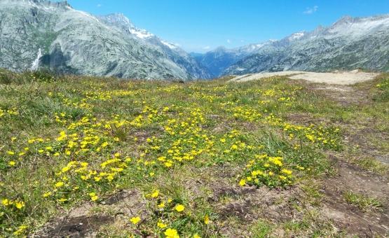 スイスの高原_黄色い花の写真